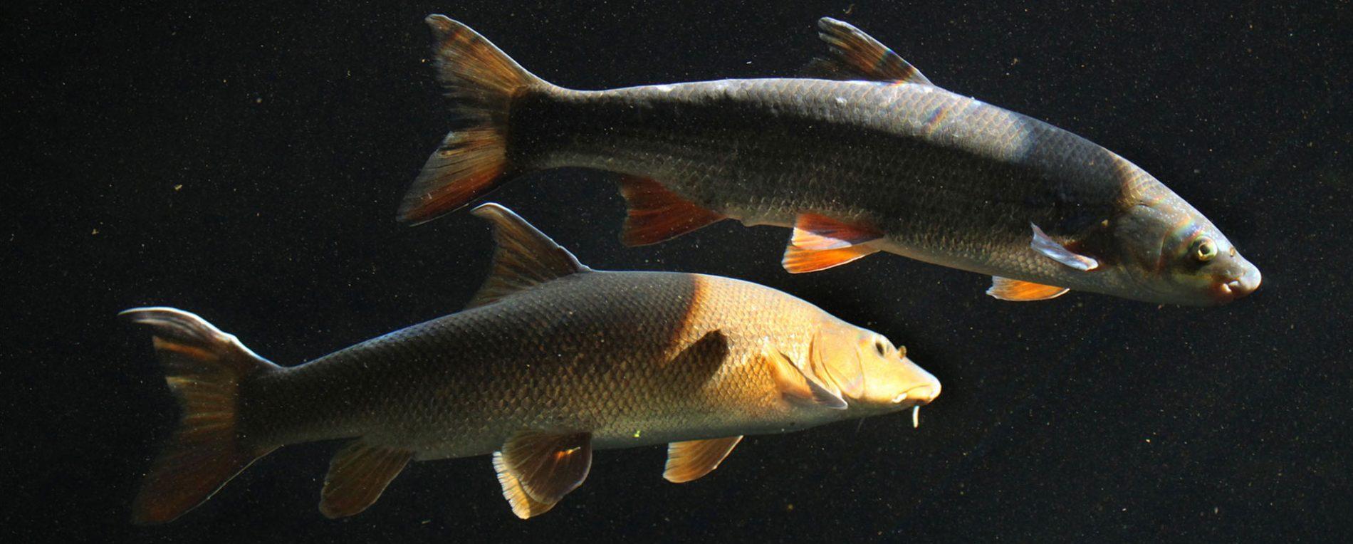 Scobarul (Chondrostoma nasus)